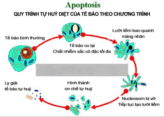 cơ chế tác động của fucoidan