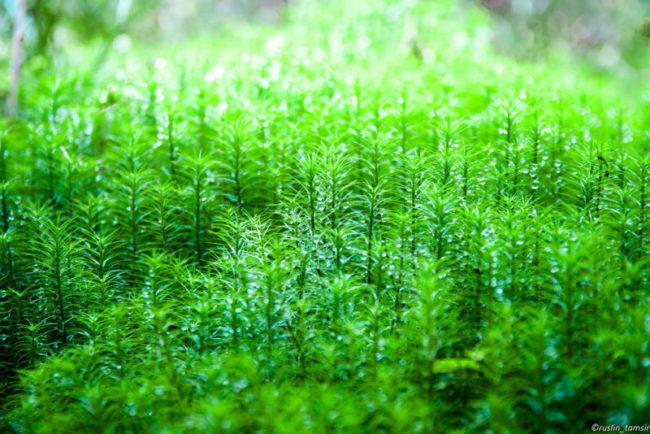 tảo xoắn nhật bản