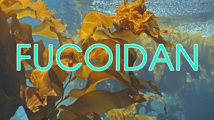 công dụng fucoidan